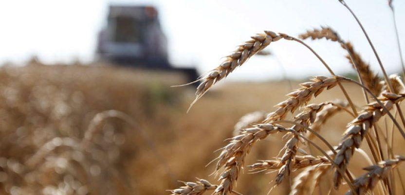 Pšenice proizvedeno više, a kukuruza manje nego prošle godine