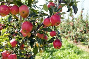 Borba Poljske za očuvanje jabuke