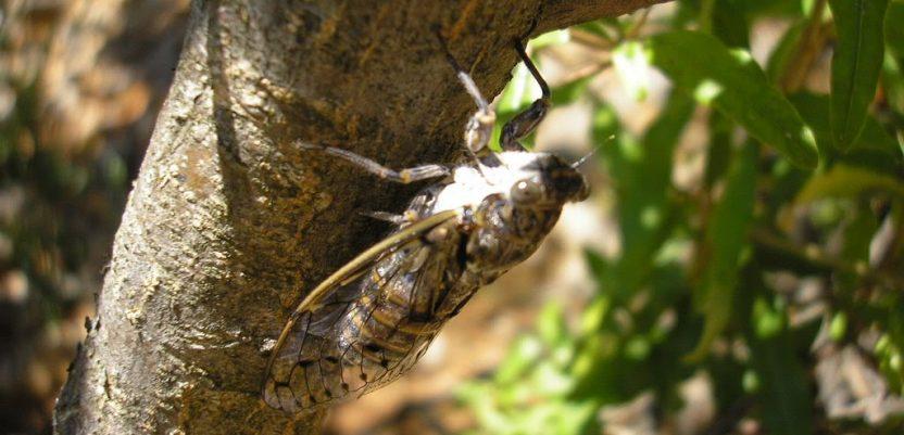 Voćari, oprez: Veliki cvrčak napada kupine