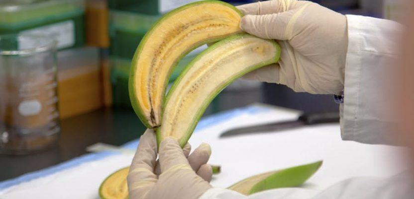Stvorena nova vrsta banana
