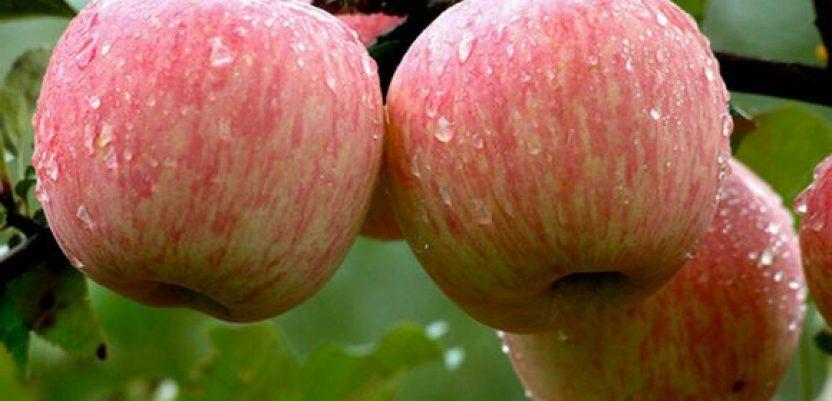 Srpsku jabuku čeka velika konkurencija u izvozu