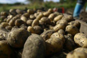 Inostrani krompir preplavio domaće tržište