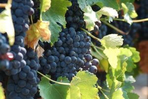 Dionis idealan za fruškogorske vinograde