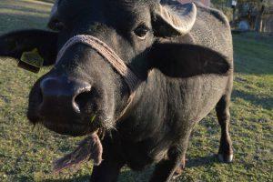 U Banatu i goveda iz srednjeg veka