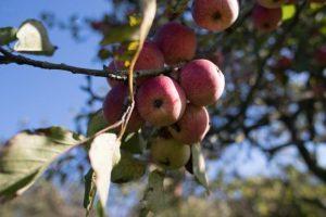 Srpski penzioneri beru jabuke u Slovačkoj