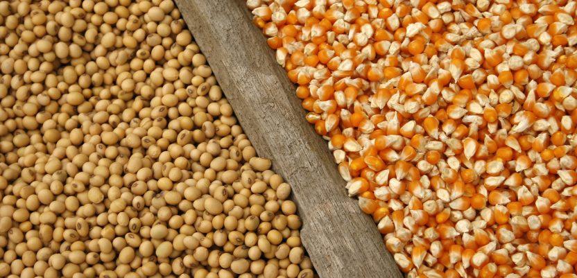 Značajan pad cena kukuruza, soje i suncokreta
