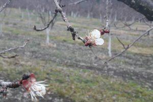 Čačak: Procvetala kajsija, zabrinuti voćari