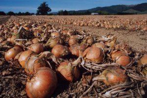 Uzgoj crnog luka dovoljan za domaće potrebe