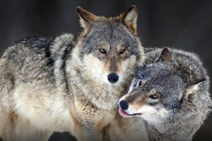 Nemačka smanjuje populaciju vukova