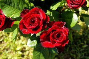 Uzgoj sadnica ruža isplativ posao
