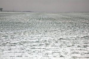 Pšenica pod snežnim pokrivačem lakše podnosi mraz