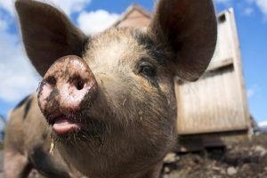 Sve veći strah od svinjske groznice u Evropskoj uniji
