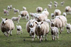 Nedimović: Za državnu subvenciju kupio bih stado ovaca