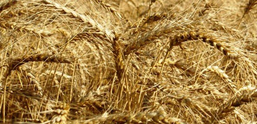 Ministarstvo da proveri otkup žita