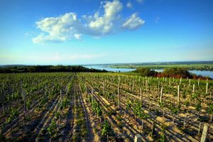 Obnavljaju se vinogorja u Negotinskoj Krajini