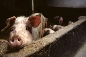 Afrička kuga svinja u selu kod Negotina