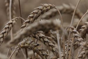 Upitan kvalitet ovogodišnje pšenice
