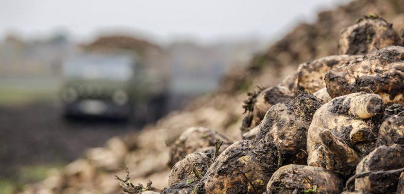 Šećerna repa čeka na njivama, jer nema kamiona
