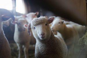 Uprkos podsticajima, stočarska proizvodnja se smanjuje