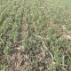 Dobro stanje ozimih strnih žita u srednjem Banatu