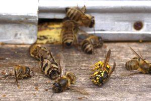 Prskanje zabranjenim sredstvima uništilo pčele