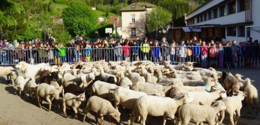 Umesto dece, u školu upisali – ovce