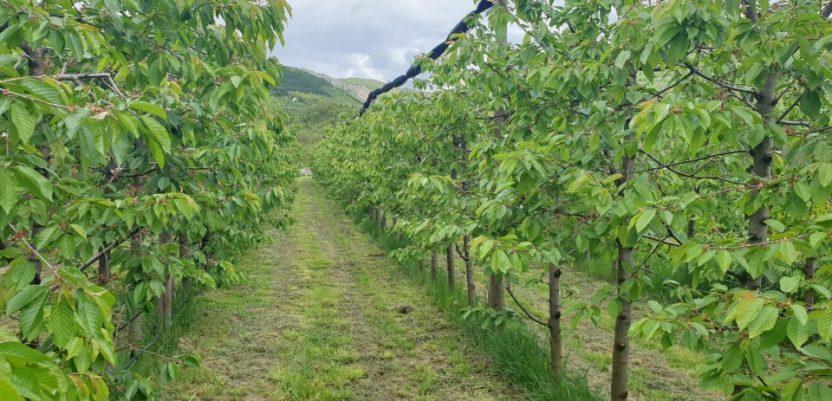 Niske temperature maju ugrožavaju voće