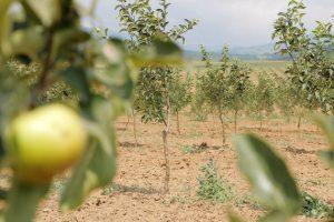 Otvorena najveća plantaža organskih jabuka u Srbiji