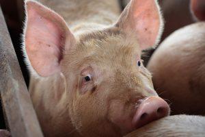 Afrička svinjska kuga ušla na nemačke farme