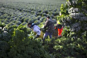 Mrazevi od 20. do 22. septembra opasnost za povrće