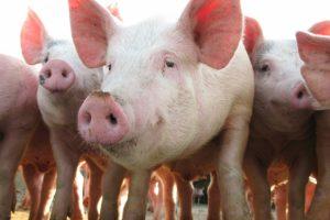 Domaći stočari mogu utoviti i više od 10 miliona svinja