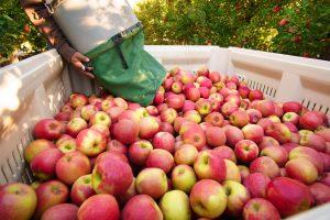 Privodi se kraju berba jabuka