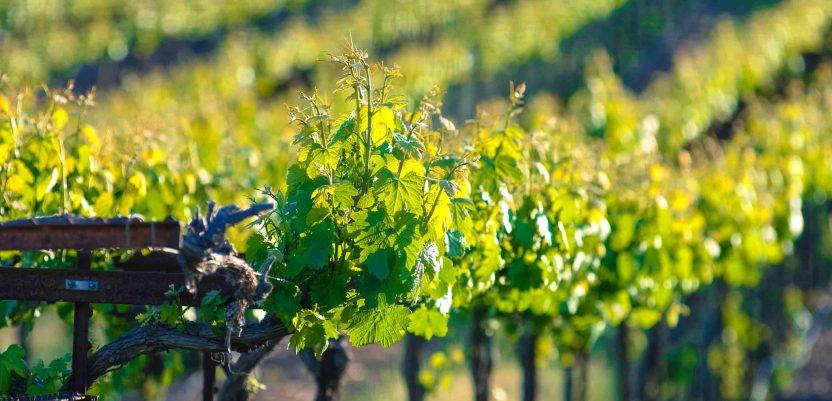 Najniža proizvodnja vina u istoriji Francuske