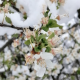 Bez štete za žitarice, voću sneg može da škodi