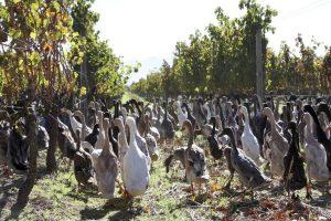 Patke štite vinograd od puževa