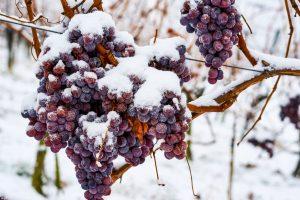 "Nemačka bez ""ledenog vina"" zbog tople zime"
