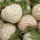 Nova sorta jagode sa ukusom ananasa