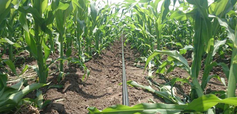 Kiša ublažila štetu od suše kod kukuruza