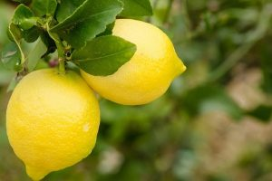Zaštićen limun koji raste iz vulkanskog pepela