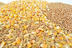Znatno bolji izvoz kukuruza nego pšenice
