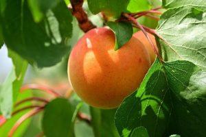 Rod voća ove godine manji do osam odsto
