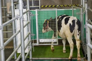 Zašto naučnici treniraju krave da idu u toalet?