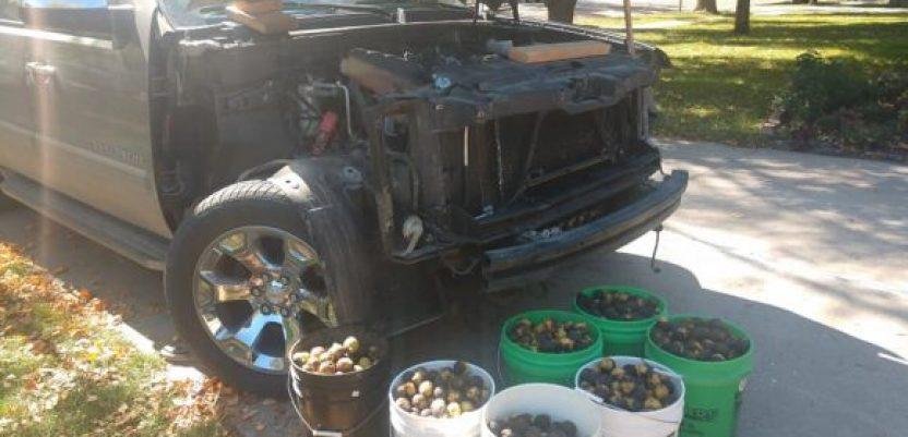 Veverica za četiri dana sakrila u automobilu 70 kg oraha