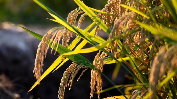 Novi rekord u proizvodnji kineskog hibridnog pirinča